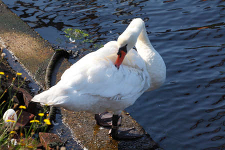 animal mole: White Swan