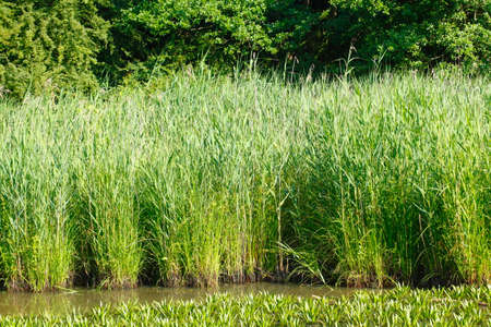 Reed on Water,  Germany, Europe