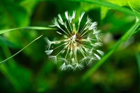 Blowball of  Dandelion (Taraxacum)
