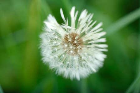 blowball: Blowball of  Dandelion (Taraxacum)