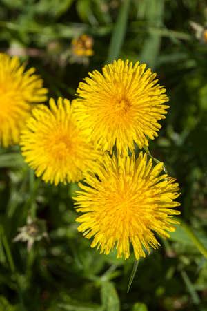 Blossoming Dandelion (Taraxacum) Stock Photo