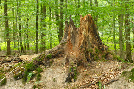 Tree Stump  in a Wood,  Germany, Europe