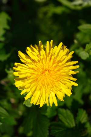 Blossoming Dandelion background. Stock Photo