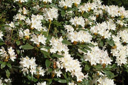 blte: weisse Rhododendronbl?ten