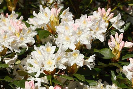 weisse Rhododendronbl?ten