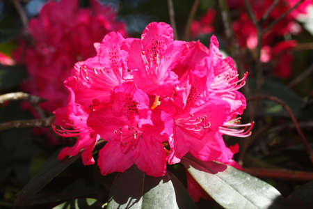 violet rhododendron blossom  flowers in spring