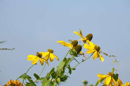 coneflowers: blossoming yellow coneflowers in Summer