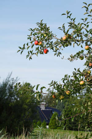ripe Apples on an apple tree, house and garden in the background Stock Photo