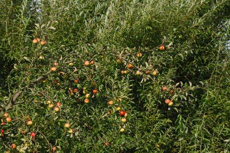ripe Apples on an apple tree Stock Photo