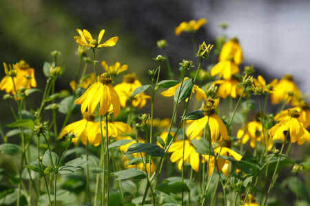 coneflowers: blossoming yellow coneflowers in Summer, water in the background Stock Photo