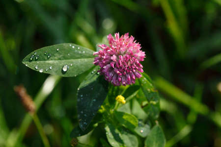 red clover: Red clover, meadow clover, (Trifolium pratense)