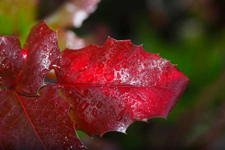 dark red leaves from a bush Stock Photo
