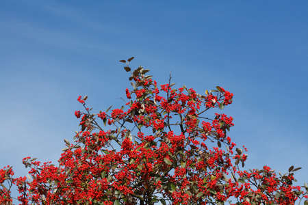 Rowanberries on a tree over a blue sky background Stock Photo