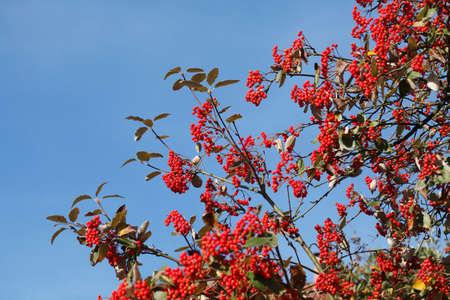 rowanberries on a Rowanberry Tree