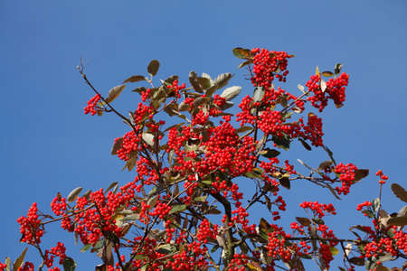 rowanberries on a Rowanberry Tree