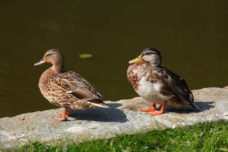 Ducks a  bank embankment