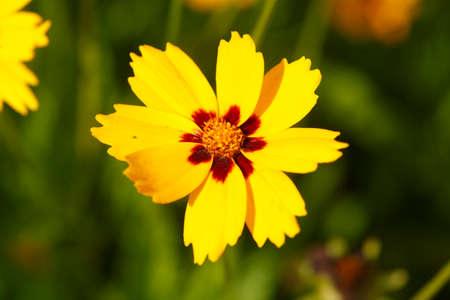 yellow Girls eye Sterntaler flowers Stock Photo