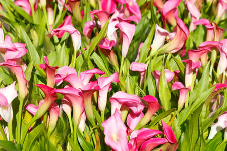 arum: violet blossoming calla lily flowers