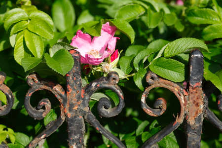 old weather-beaten rrusty iron Garden Fence with flower