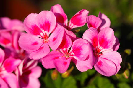 violet Phlox  flowers blossom Zdjęcie Seryjne