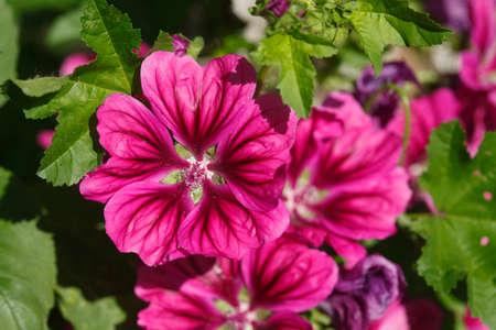 violet Phlox  flowers blossom Stock Photo