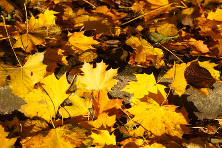 yellow maple Leaves, colorful Autumn Leaves