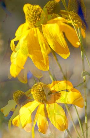 blühender Gelber Sonnenhut, Blumen