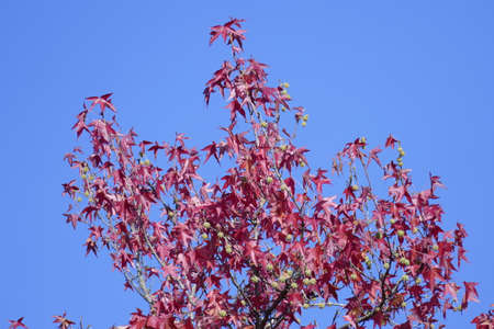 Fan Maple (Acer palmatum), red autumn leaves on a tree, Germany