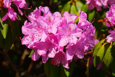 Pink rhododendron flower, close-up, Germany Zdjęcie Seryjne