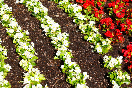 Red and white flowering primroses, flowerbed, background picture, Germany Stock Photo
