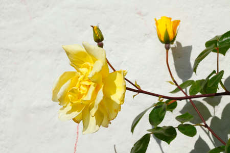 Yellow climbing roses on a white house wall, Germany