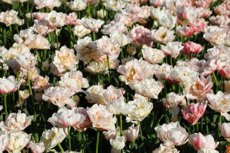 white rose, close-up, Germany, europe Reklamní fotografie