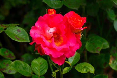 Red climbing roses, dark background, Germany