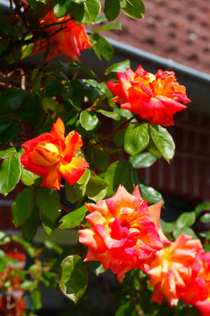 Red Roses, Green Background, Germany