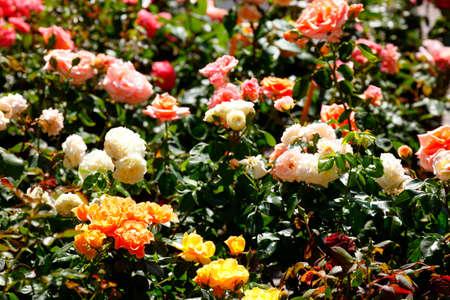 Colorful roses on a flower market, Germany Reklamní fotografie