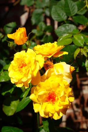 Yellow Rose, Green Background, Germany Reklamní fotografie
