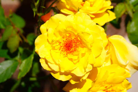 Yellow Rose, Green Background, Germany Stock Photo