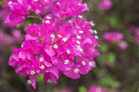 hayride: Bougainvillea flower  Stock Photo