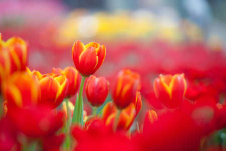 tulipan: Czerwone tulipany Zdjęcie Seryjne
