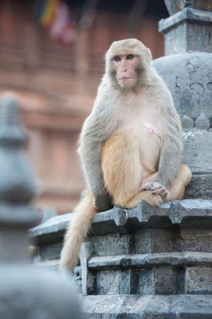 Mono en el monasterio de Bankok, Nepal Foto de archivo