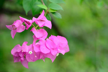 Bougainvillea flower  photo