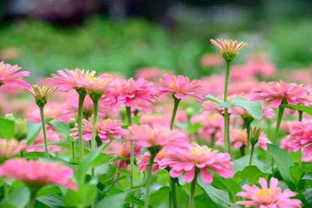 Flores rosadas del Zinnia Foto de archivo