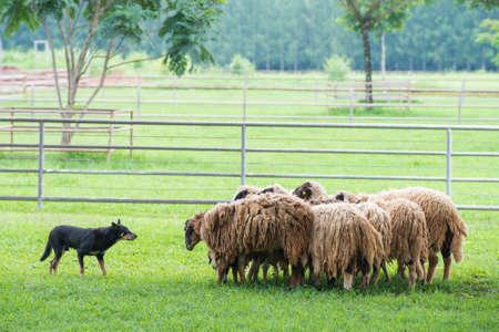 Perro y las ovejas Foto de archivo