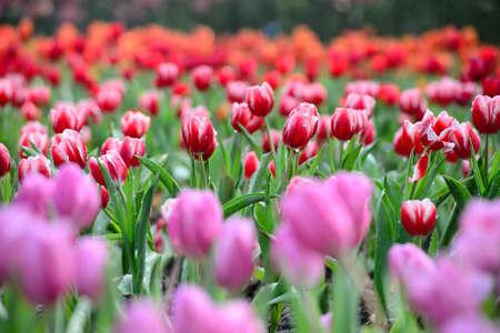 Jard�n de tulipanes de colores Foto de archivo