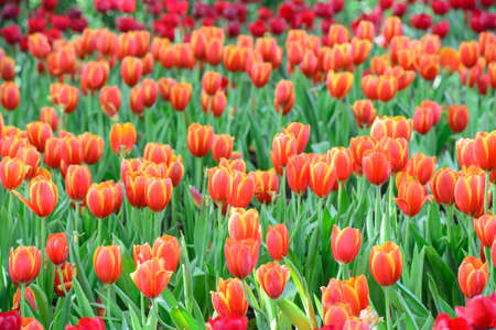 Tulipanes rojos jard�n