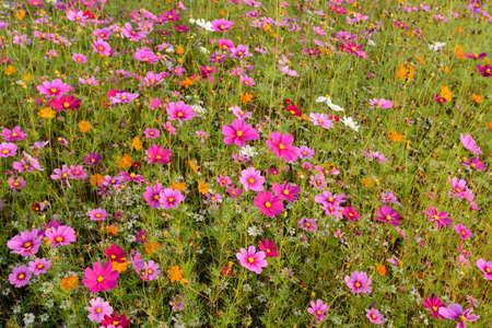 Campo de flores de Cosmos  Foto de archivo