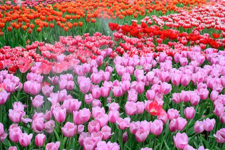 Pink tulipanes campo  Foto de archivo