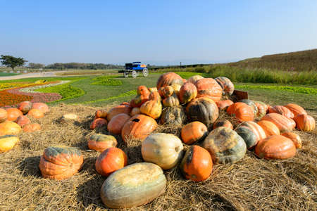 large pumpkin: Harvest time on a large pumpkin farm