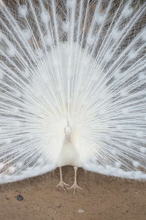 lacey: White peacock Stock Photo