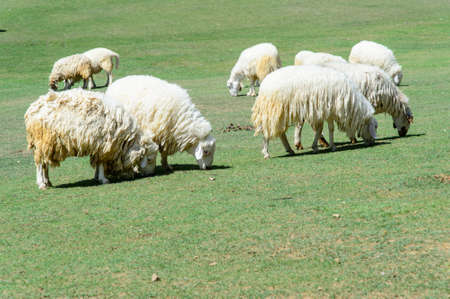 velvety: White Sheep and lamp eating grass in countryside farm